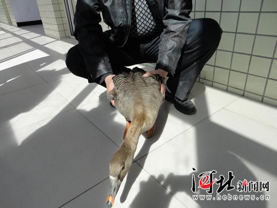 保定唐县农民救助一只国家二级保护动物豆雁